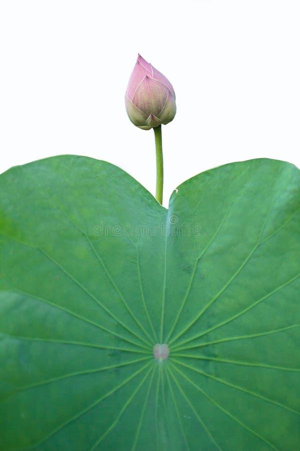 Lotus med betydelsen av buddism arkivbild