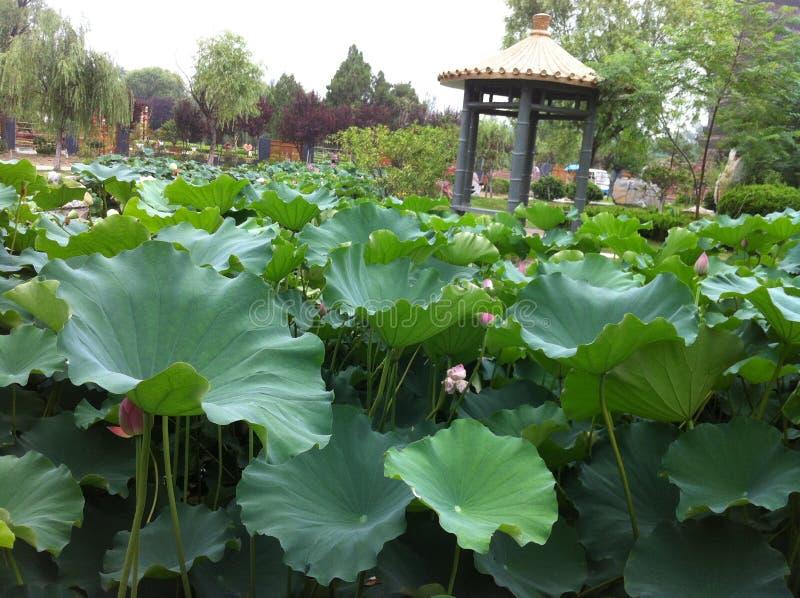 Lotus med denna dagg arkivfoton