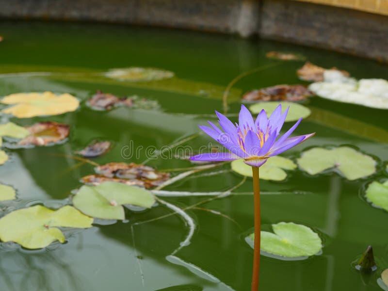 Lotus med lilor och guling i solen arkivfoton