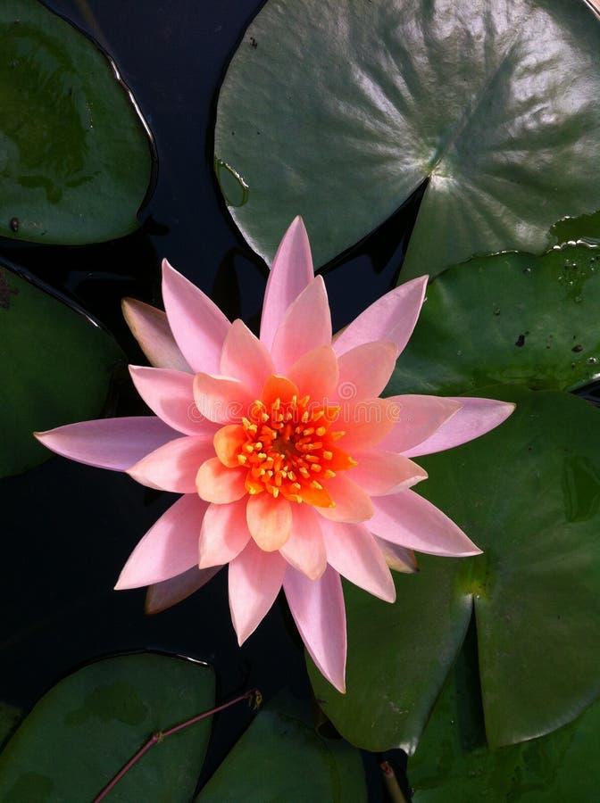 Lotus menchie kwitną nadwodnego kolor żółtego zdjęcia stock