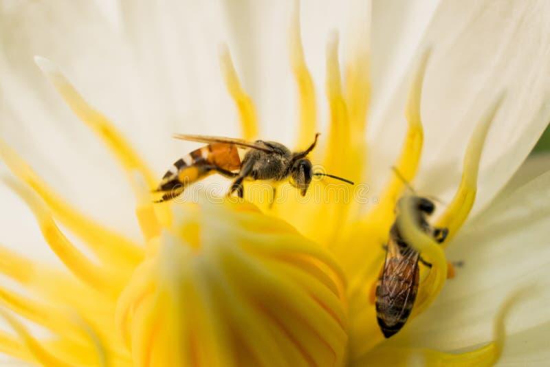 Lotus mit Bienen lizenzfreie stockfotografie