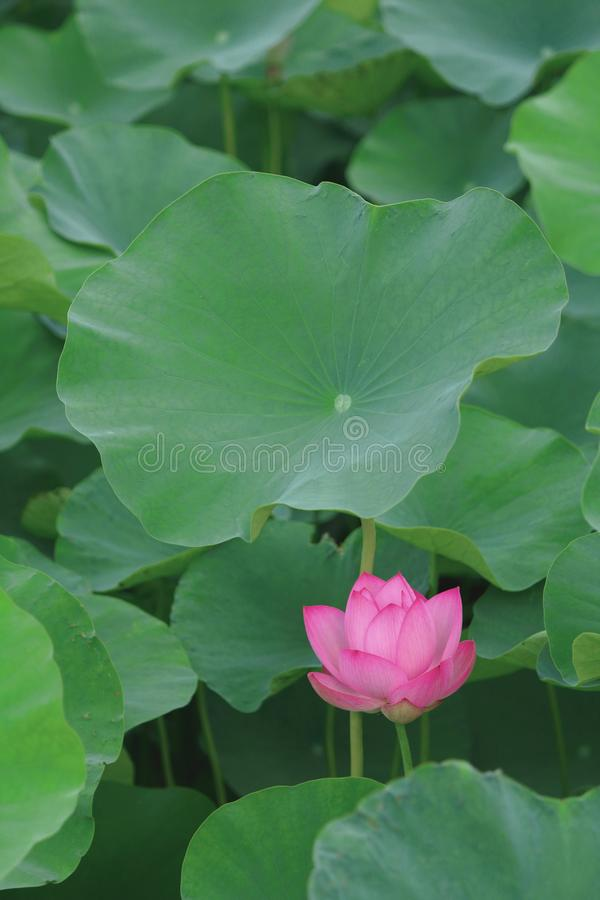 Lotus mobiltelefontapet arkivfoton
