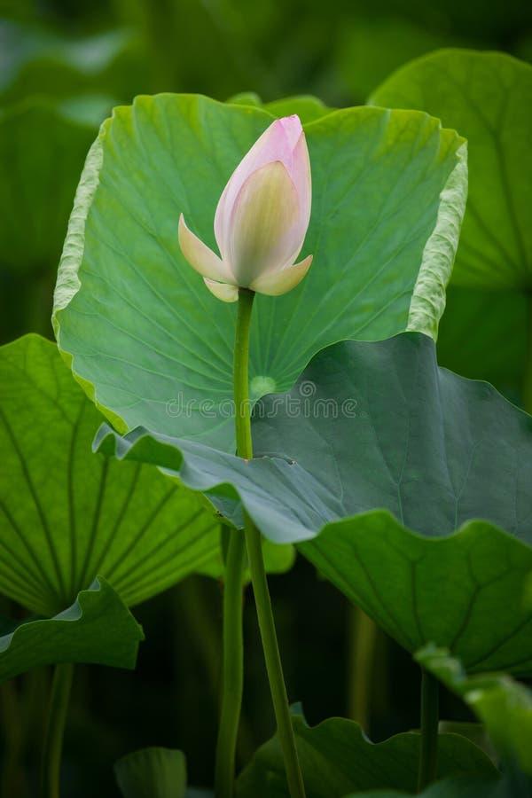 Lotus-modder royalty-vrije stock foto