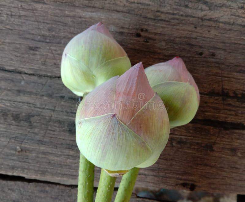 Lotus não florescer no chão de madeira é considerado um símbolo de virtude A crença existe desde a era moderna fotos de stock royalty free