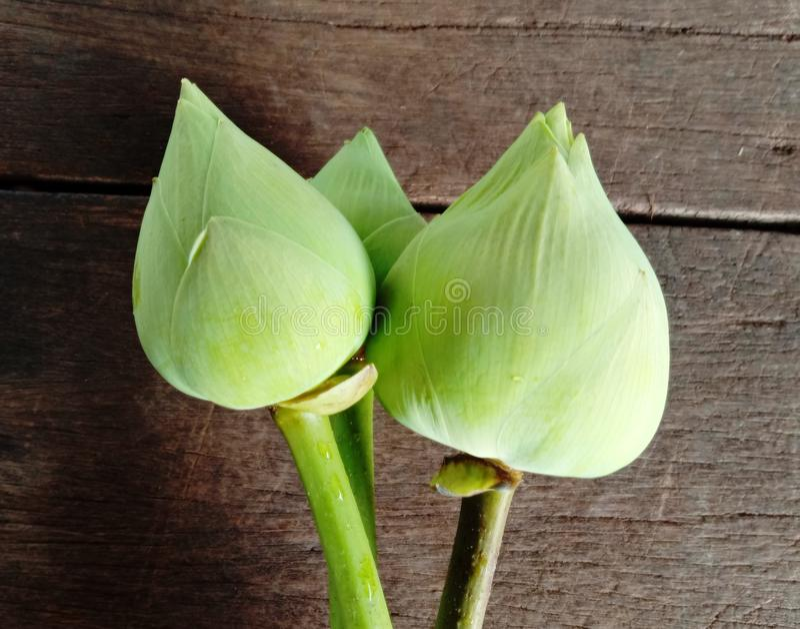 Lotus não florescer no chão de madeira é considerado um símbolo de virtude A crença existe desde a era moderna imagens de stock