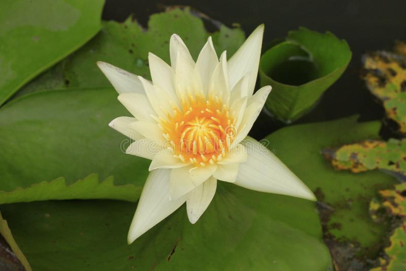 Lotus na natureza da bacia foto de stock royalty free