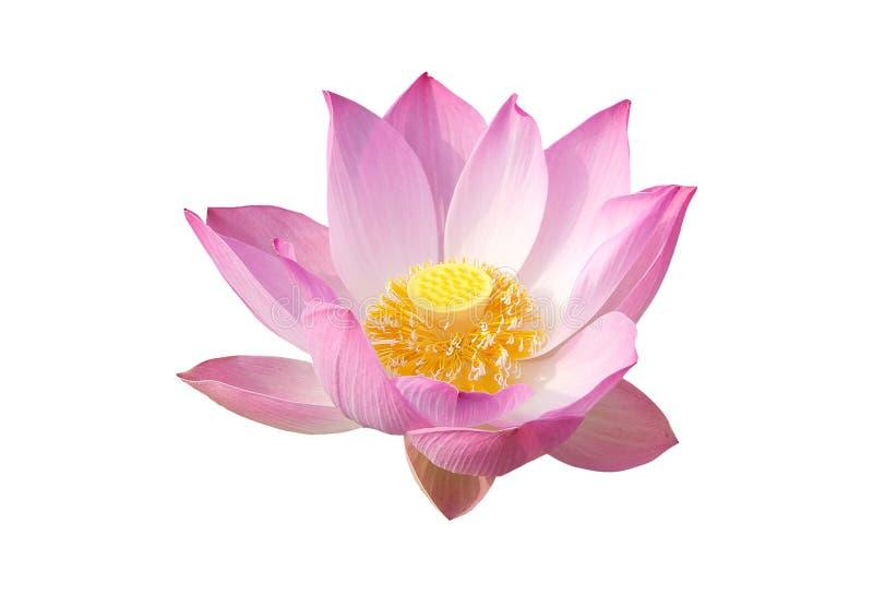 Download Lotus (Nelumbo nucifera) ilustracji. Ilustracja złożonej z flory - 53783533