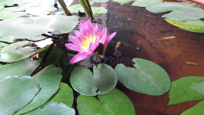 Lotus no vaso de flores e em alguns peixes foi vivido para dentro lá fotografia de stock
