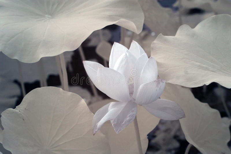 Lotus (nome scientifico: Nelumbo nucifera) fotografia stock libera da diritti