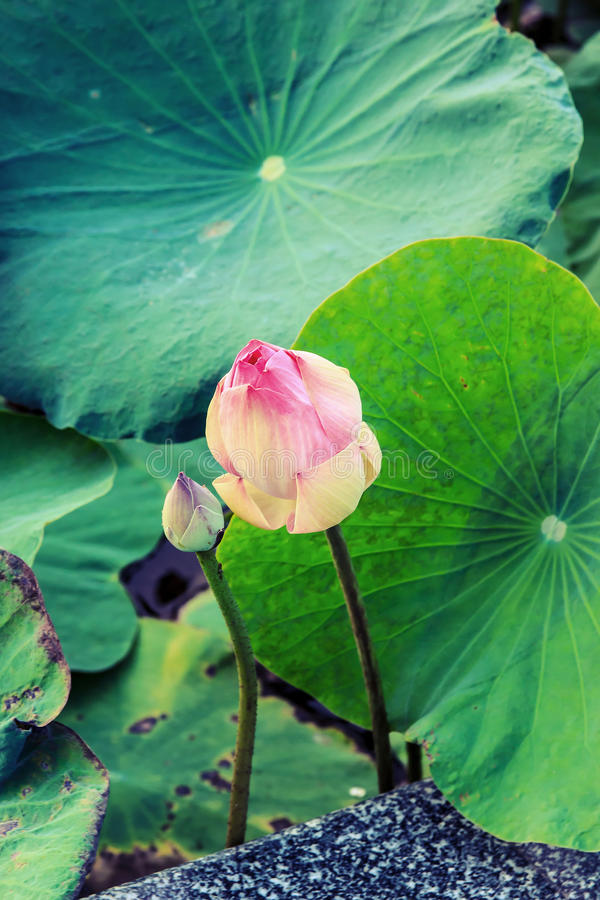 Lotus not bloom vintage. Focus on lotus,it lotus young in future is bloom. process vintage style royalty free stock images
