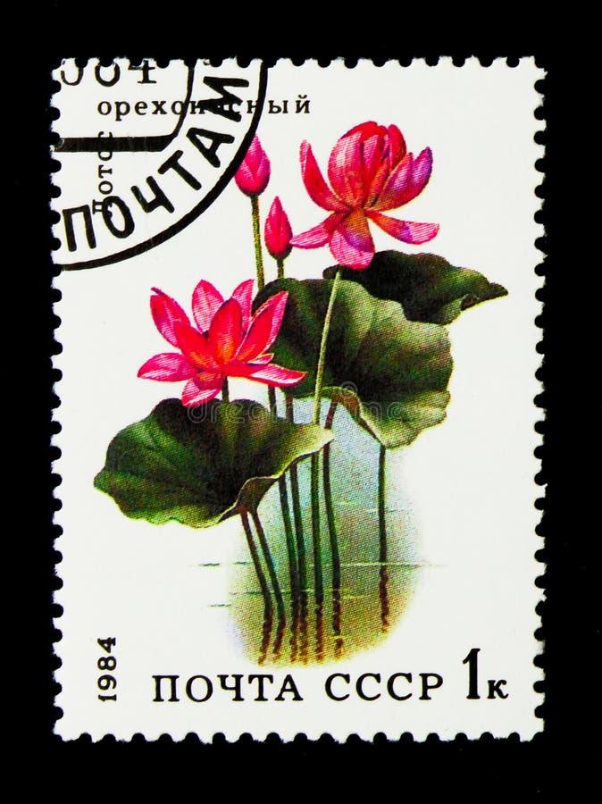 Lotus (nucifera) do Nelumbo, serie aquático das flores, cerca de 1984 imagens de stock