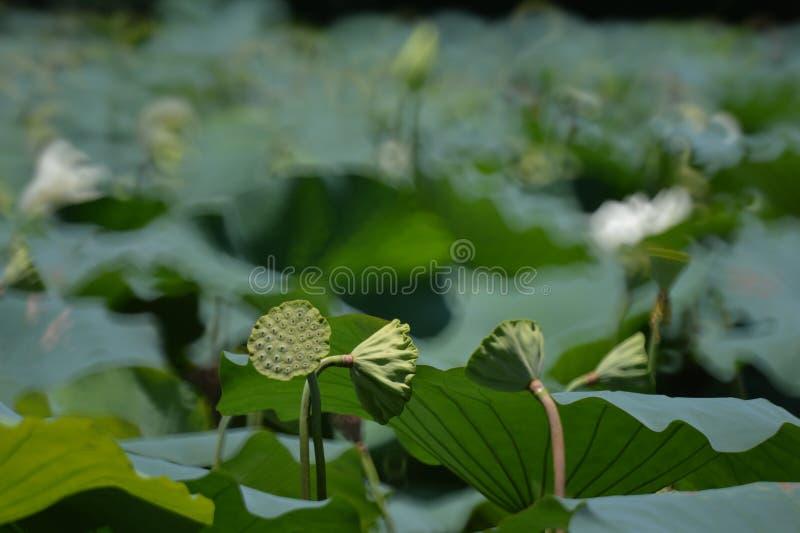 Lotus nuts standing like loudspeakers. The lotus nuts look like small green loudspeakers standing on the lotus lake in Honghu park stock image