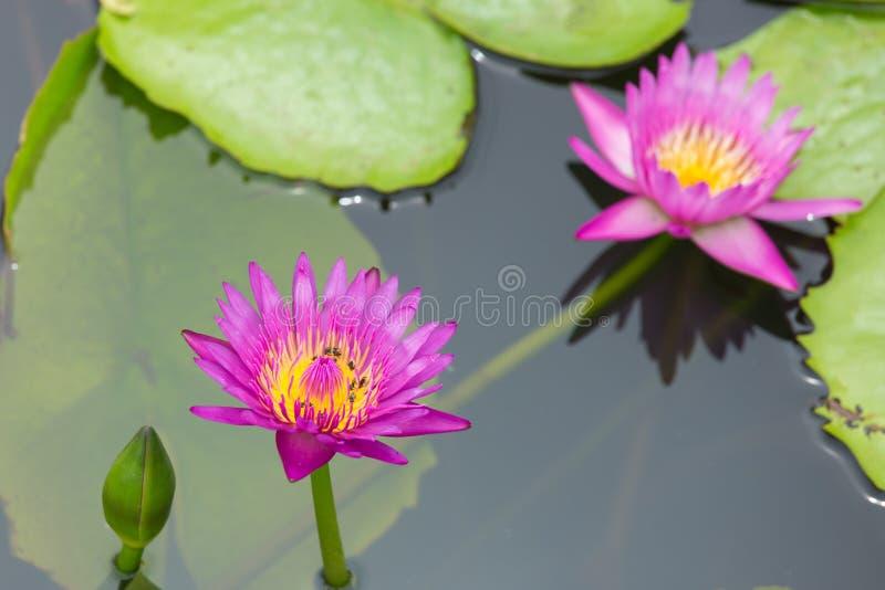 Lotus och kryp royaltyfri foto