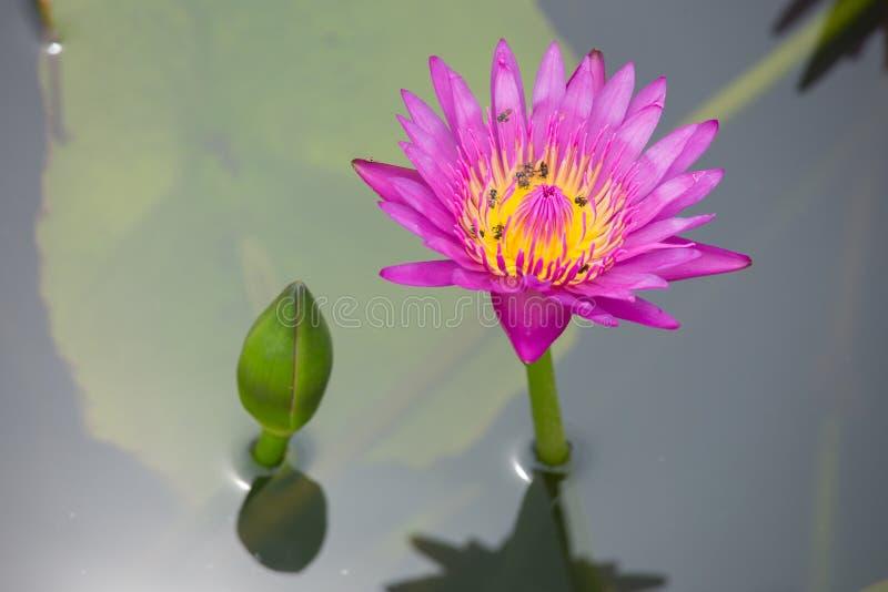 Lotus och kryp arkivfoton