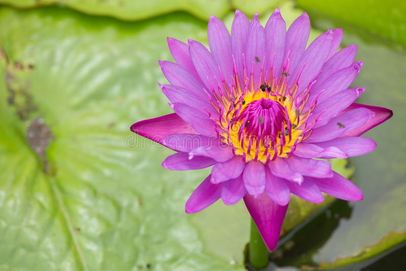 Lotus och kryp arkivbild