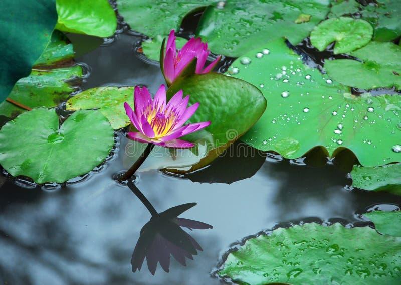 Lotus, odbicie i koraliki deszcz, zdjęcie royalty free