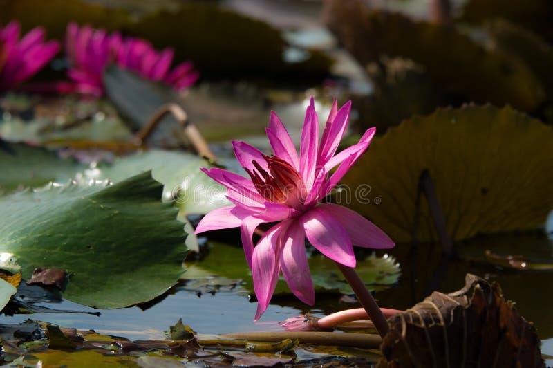 Lotus ou fleur de Lilly de l'eau photos stock