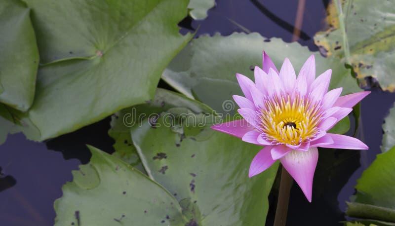 Lotus på vatten royaltyfri foto