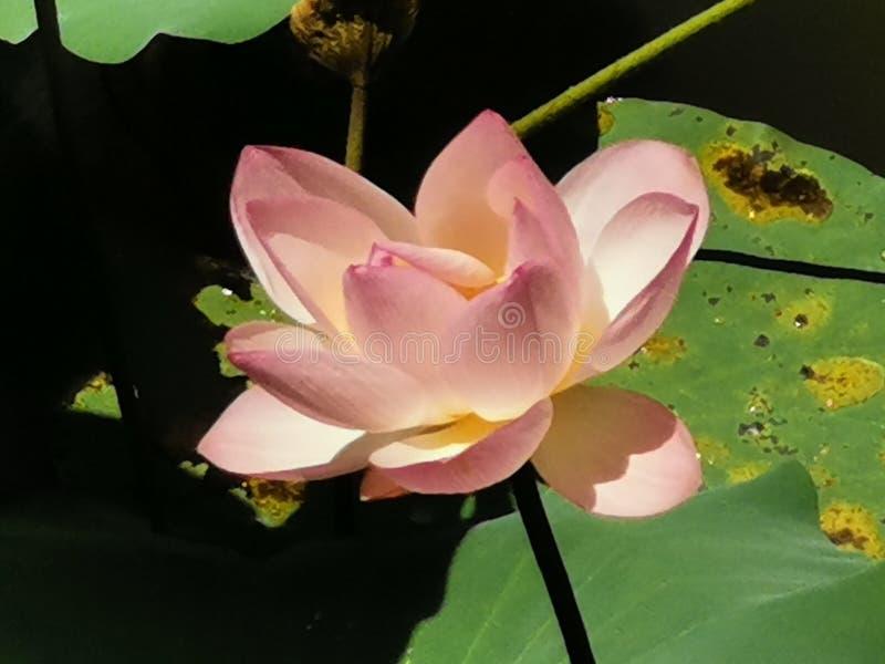 Lotus på Wun Chuen Sin Kwoon i Fanling Hong Kong arkivfoto