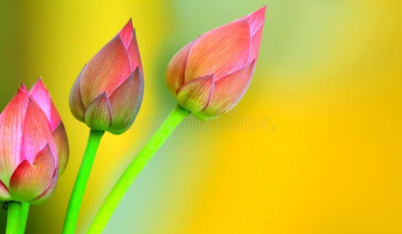 Lotus pączkuje tło fotografia stock