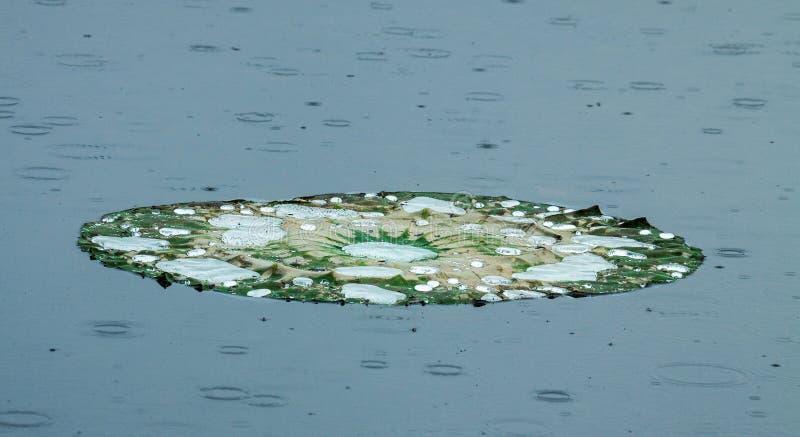 Lotus Pad med vattensmå droppar i regn royaltyfria foton
