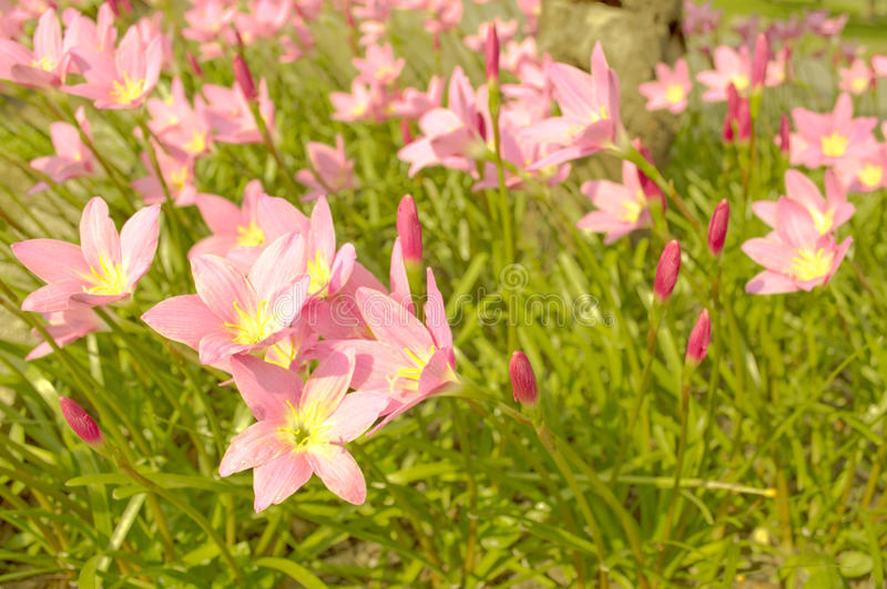 Lotus paradis på solnedgångljuset royaltyfri foto