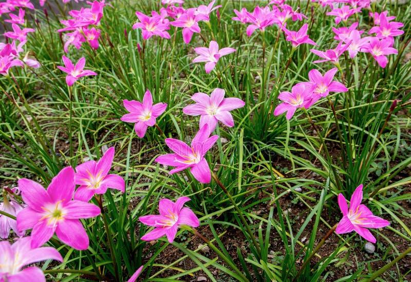 Lotus paradisblommor i parkerar bakgrund Gustavia Gracillima, Gutzlaffia royaltyfria bilder