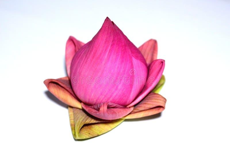 Lotus. Petal folding lotus dedicate for buddha on white background royalty free stock photo