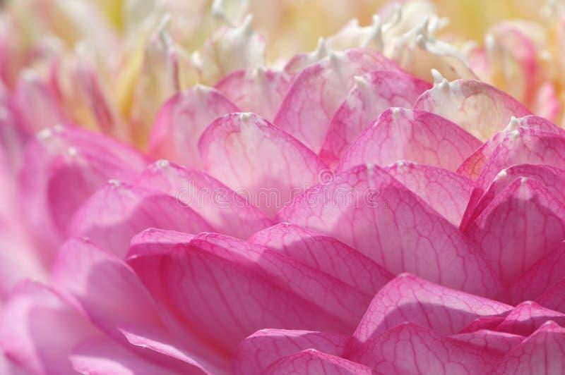 Lotus petals. stock image