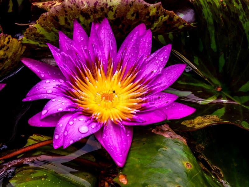 Lotus in piena fioritura è molto grazioso fotografia stock