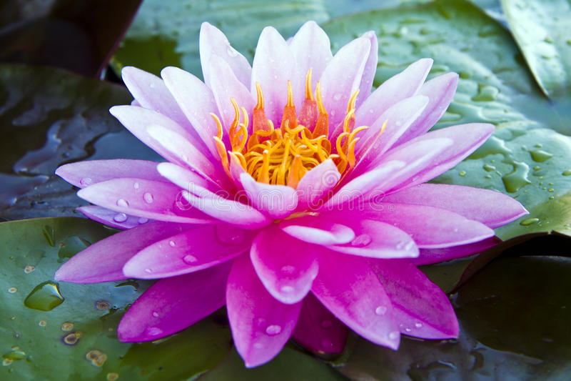 Lotus pink stock photography