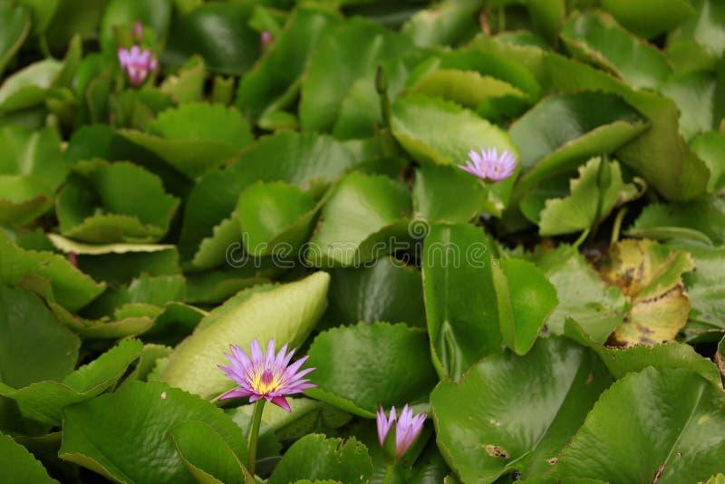 Lotus pink stock image image of ajoja names flowers 97214277 download lotus pink stock image image of ajoja names flowers 97214277 mightylinksfo