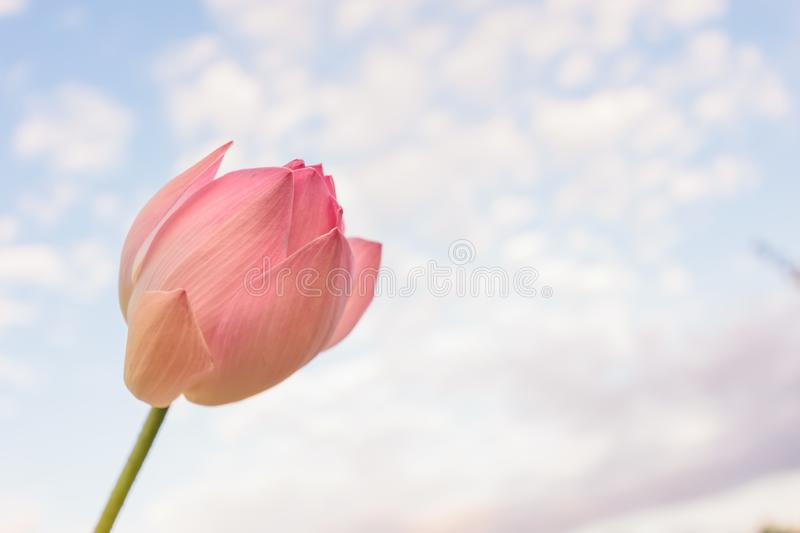 Lotus pink flower stock photos