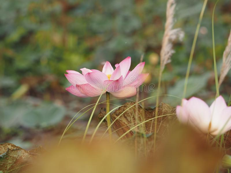 Lotus Pink flower blossom on blue background nature royalty free stock image
