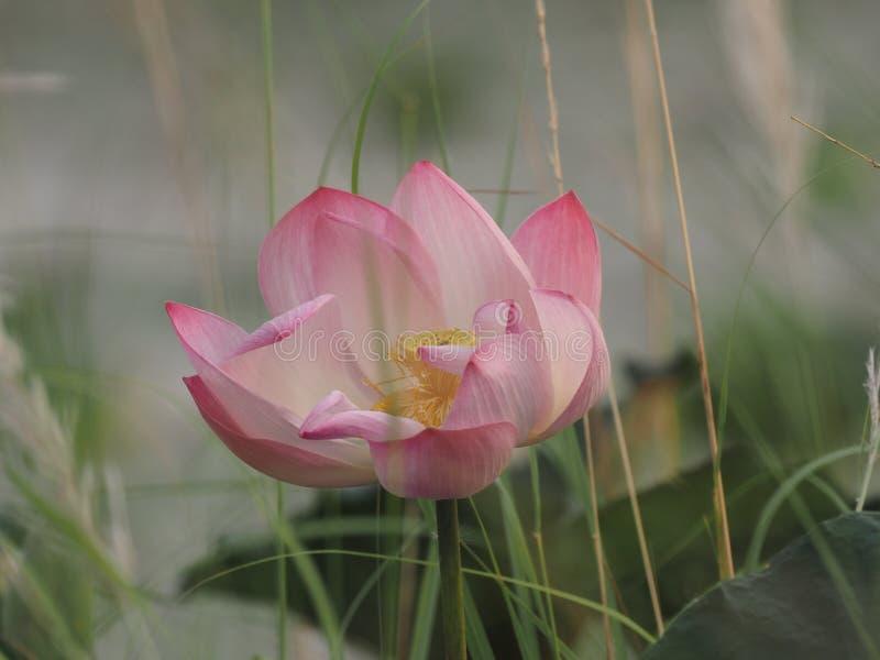 Lotus Pink Flower Petals buktade breda kronblad med en spetsig spets inre till insidan på skorrat av naturbakgrund royaltyfri foto