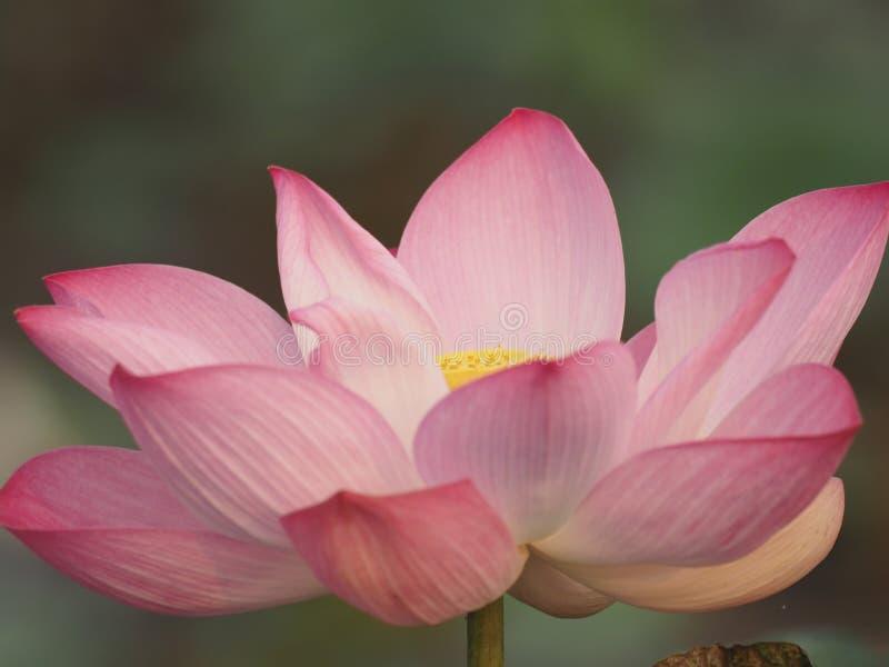 Lotus Pink Flower Petals buktade breda kronblad med en spetsig spets inre till insidan på skorrat av naturbakgrund fotografering för bildbyråer