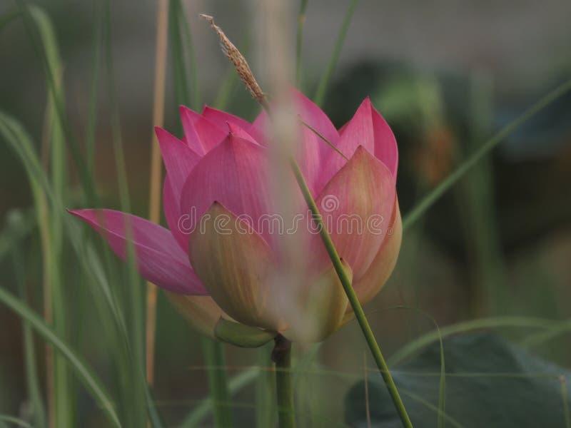 Lotus Pink Flower Petals buktade breda kronblad med en spetsig spets inre till insidan på skorrat av naturbakgrund royaltyfria bilder