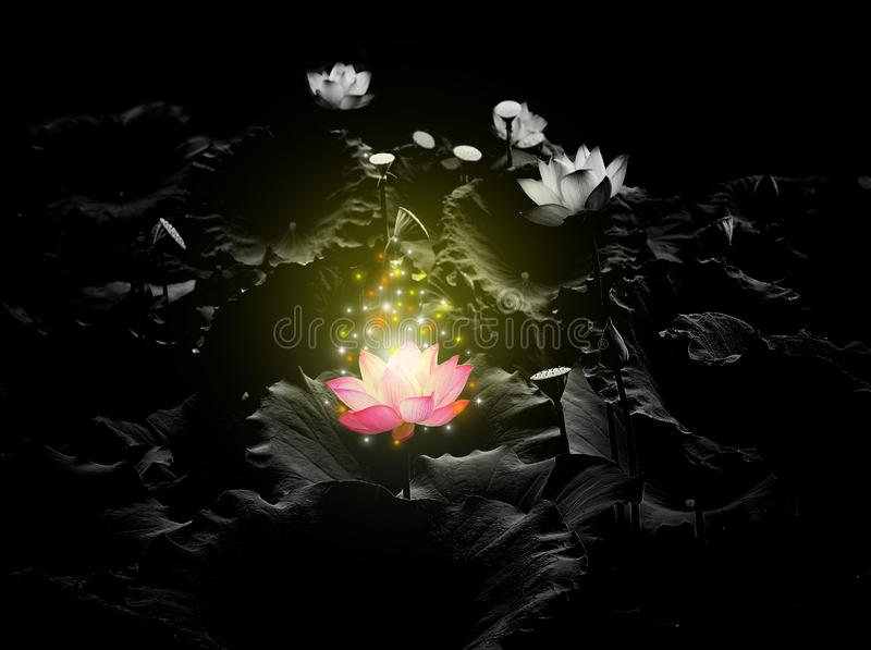 Lotus Pink light  floating light sparkle on a black background stock image