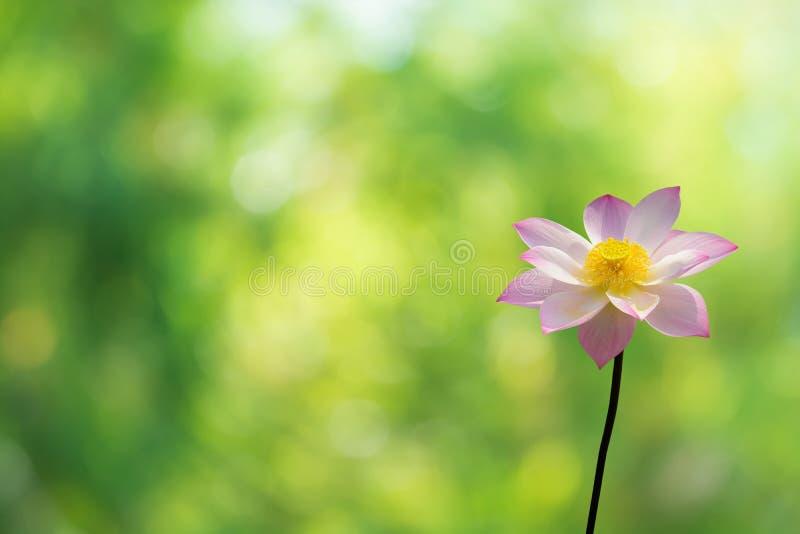 Lotus Pink på bokehbakgrund av trädsidor royaltyfri bild