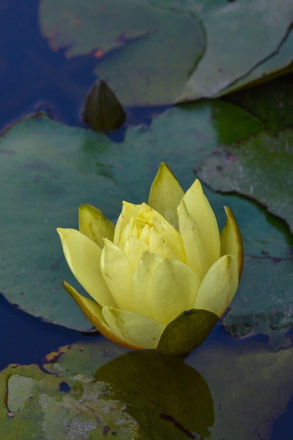 Lotus Plower intelligente gialla in acqua fotografia stock