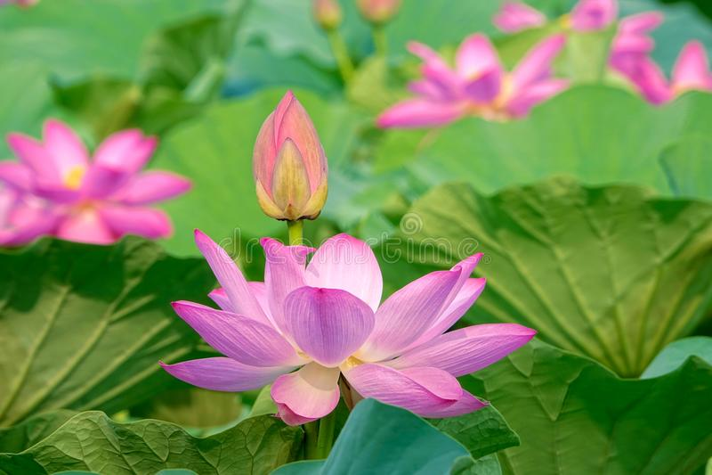 Lotus Pond arkivfoto