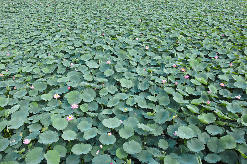 Lotus Pond royaltyfri bild