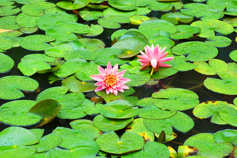 Lotus pond. Two pond lily flowers bloomy in the middle of a pond covered with verdure round lotus leaves stock photos