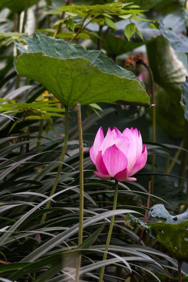 Lotus Pond image stock