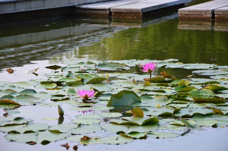 Lotus Pond immagine stock