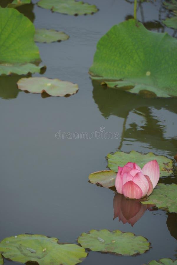 Lotus Pond image libre de droits