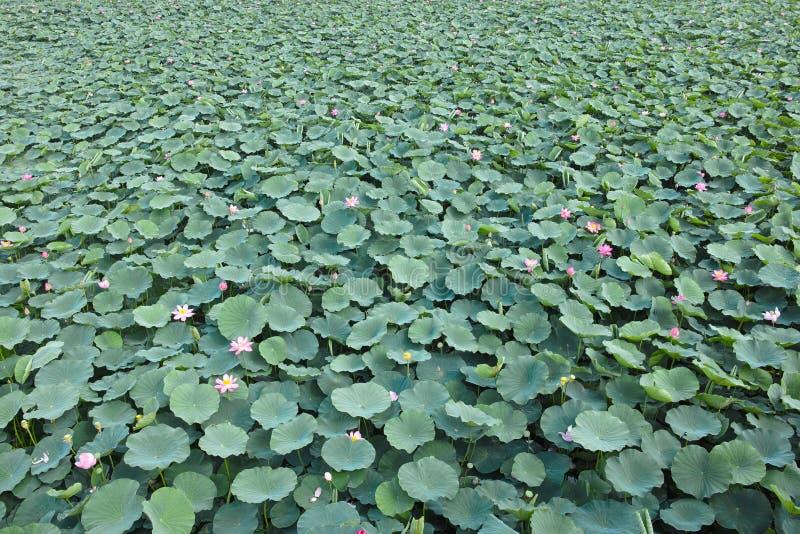 Lotus pond royalty free stock image