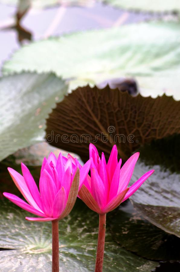 Lotus in the pond stock images