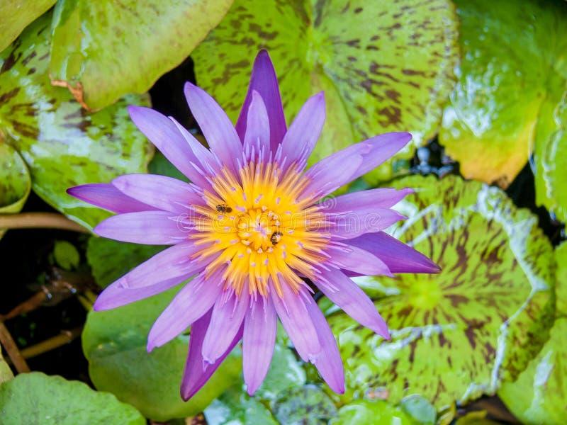 Lotus in pond. stock photo