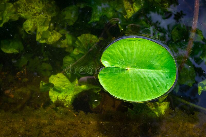 Lotus pond. Green fresh leaf plant with drop dew in garden lake with water reflection. Abstract macro nature background. Copy space royalty free stock photos